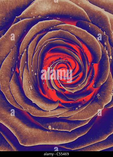 Abstract photo of a burning from inside beautiful red rose with drops of water on its petals - Stock Image
