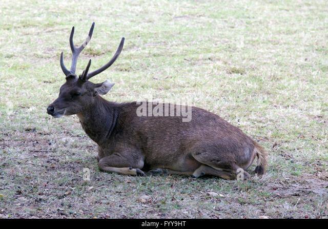 Beautiful image of red deer in Indonesia - Stock Image