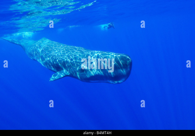 Physeter catodon, Physeter macrocephalus, sperm whale underwater with diver, Azores - Stock Image
