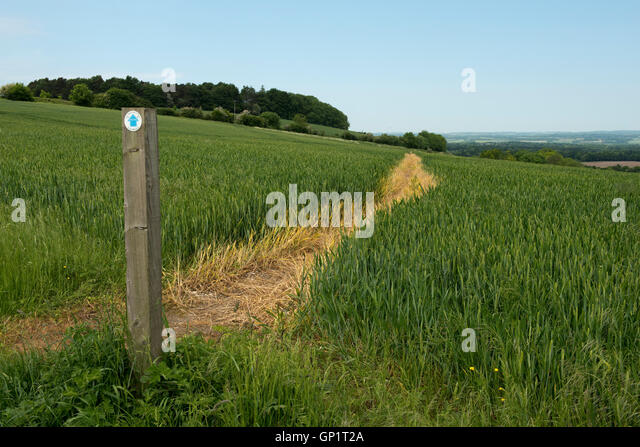 Footpath sign and path cut through stages of a winter wheat field on the North Wessex Downs in June - Stock Image