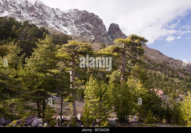 Corsican Pine Pinus Nigra Stock Photos & Corsican Pine ...