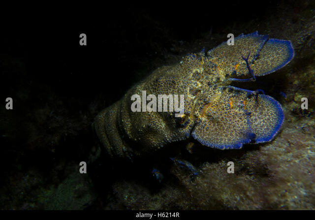 Mediterranean slipper lobster, Scyllarides latus, from Malta, Mediterranean Sea. - Stock Image