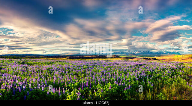 Typical Icelandic landscape with field of blooming lupine flowers in the June. Sunny summer morning in the east - Stock Image