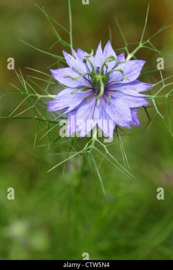 Nigella damascena persian - Jewel series in flower, England, UK - Stock-Bilder
