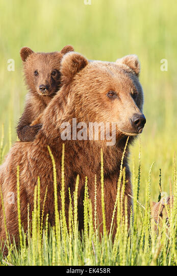Brown / Grizzly Bear, Lake Clark National Park, Alaska - Stock Image