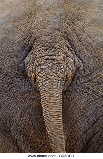 Asian elephant, native to southern parts of Asia. - Stock Image