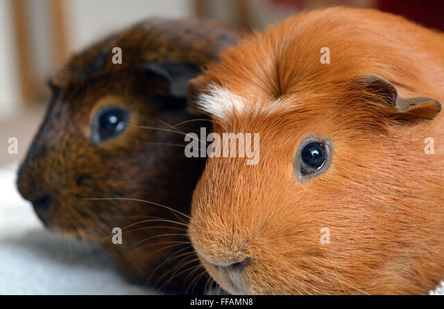 Two guinea pigs sitting together contented - Stock Image