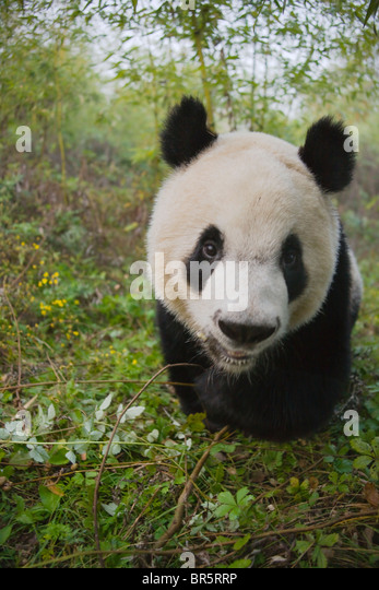 Giant Panda cub in the forest, Qinling, Shaanxi, China - Stock Image
