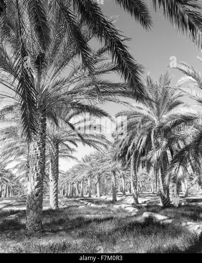 The Palmeraie at Tozeur. Tozeur, Tunisia. - Stock Image