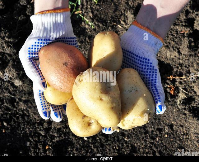new potatoes - Stock Image