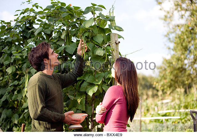 A young couple picking runner beans on an allotment - Stock Image