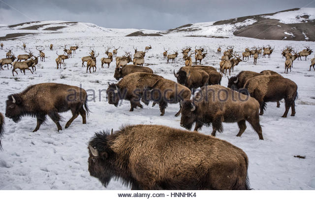 Bison and elk share winter ranges in the National Elk Refuge near Jackson, Wyoming. - Stock-Bilder