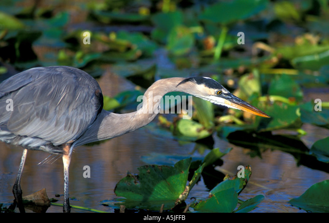 Florida Great Blue Heron stalking fish - Stock Image