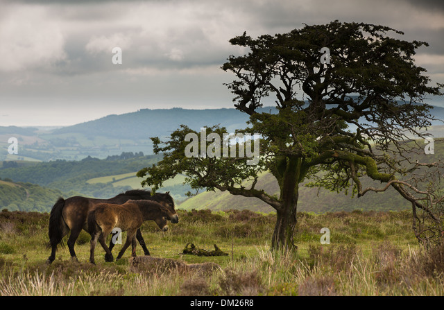 wild ponies on Exmoor, Somerset, England - Stock-Bilder