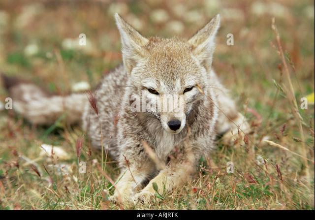 Patagonian grey fox (Dusicyon griseus griseus), Torres del Paine National Park, Patagonia, Chile, South America - Stock Image