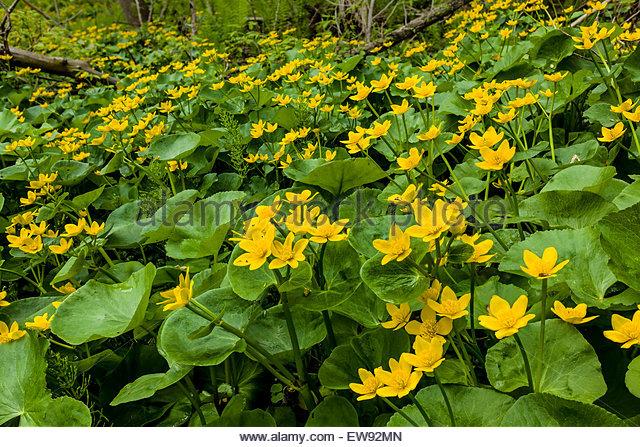 marsh-marigold-aka-kingcup-caltha-palust