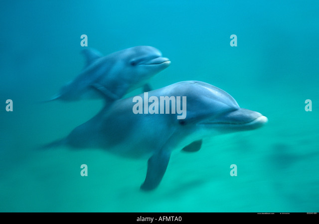 Tursiops Truncatus Honduras Underwater Stock Photos ...