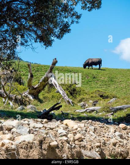 Bull grazing on hillside, Colville, Coromandel Peninsular, New Zealand - Stock Image