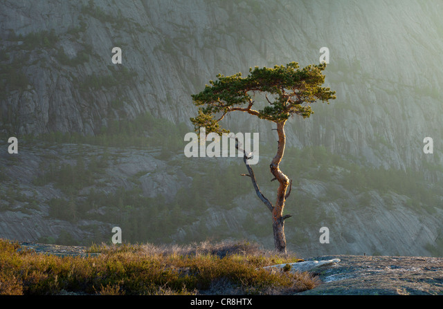 Pine tree at dawn at Måfjell in Nissedal, Telemark fylke, Norway. - Stock Image