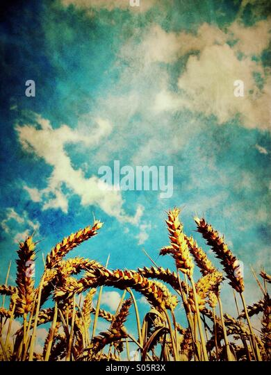 Ripe wheat against blue sky - Stock Image