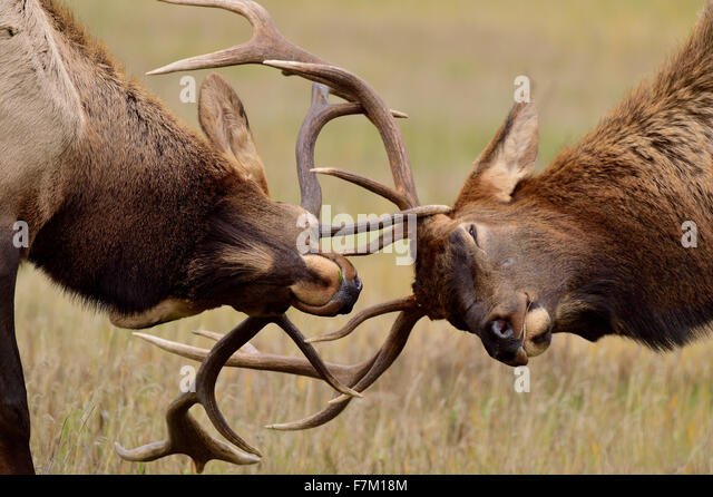A close up of two young bull elk Cervus elaphus, in a battle during the rut in Jasper National Park in Alberta, - Stock Image