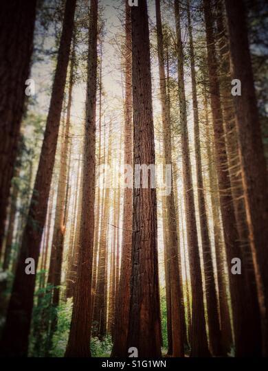 Redwood trees in Redwoods Park, Surrey, British Columbia, Canada. - Stock-Bilder