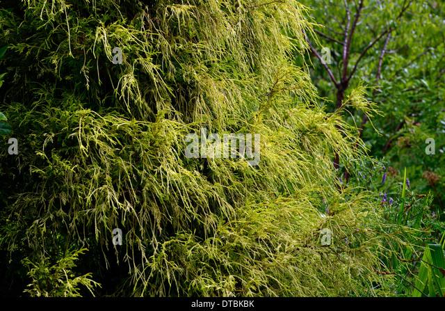 chamaecyparis pisifera filifera aurea nana evergreen conifer conifers evergreens foliage leaves mound appearance - Stock Image