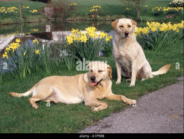 Dog Daffodil Stock P Os Dog Daffodil Stock Images Alamy