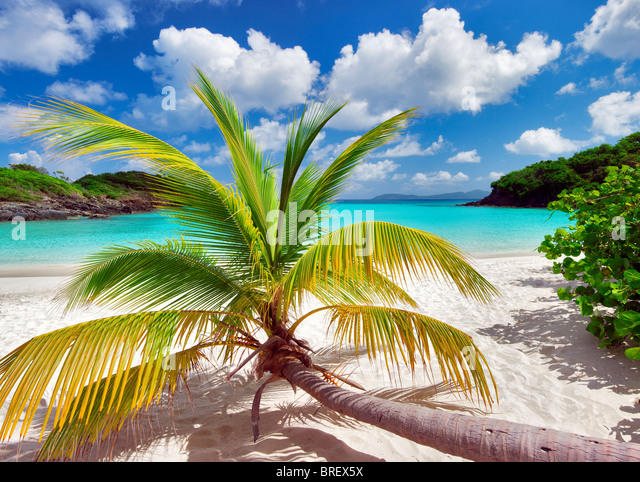 Palm tree growing horizontal at Trunk Bay. Virgin Islands National Park. St. John. - Stock-Bilder