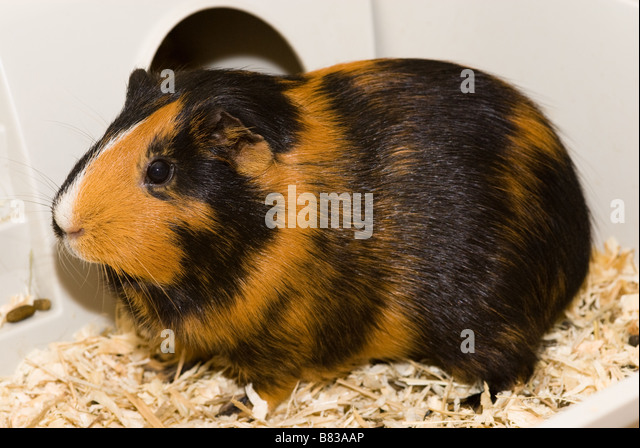 A short haired Guinea pig in a cage - Stock Image