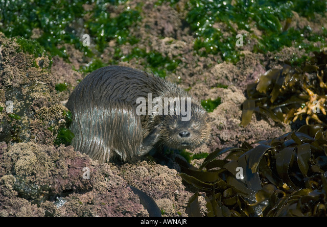 Marine Otter (Lontra felina) or Chungungo, ENDANGERED, Chiloe Island, Chile, Scratching - Stock Image