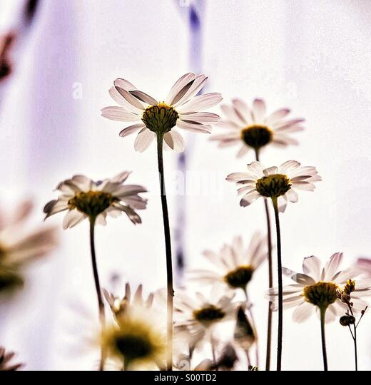 Spring Daisies - Stock Image