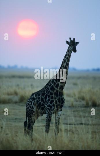 Masai Giraffe, (Giraffa camelopardalis), Zimbabwe, Giraffe and setting sun. - Stock Image