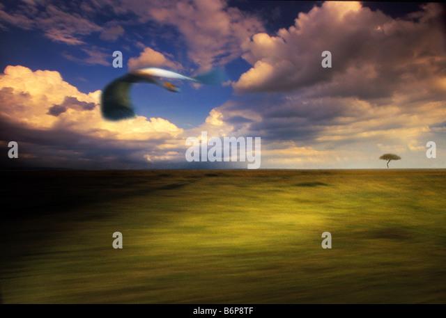 crane in flight , kenya masai mara - Stock Image