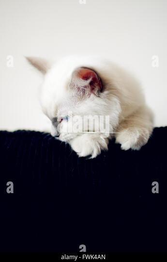 White Kitten Looking Down At Home - Stock-Bilder