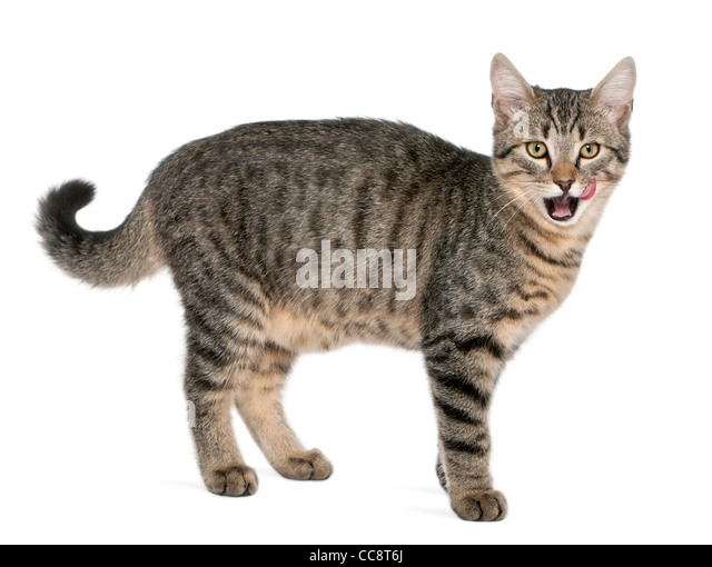 Mixed-breed cat, Felis catus, 6 months old, standing in front of white background - Stock Image