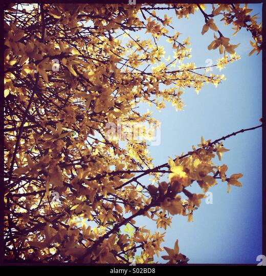 Yellow blossoms - Stock Image
