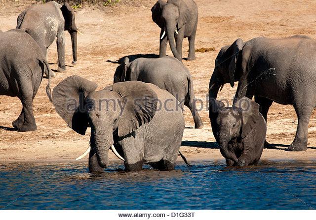 Elephants drinking, Namibia, Africa - Stock Image
