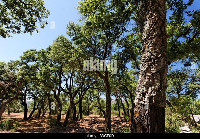 Italy Sardinia Cork oak plantage - Stock Image