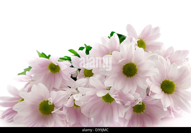 Pastel pink chrysanthemum bouquet with a white background - Stock Image