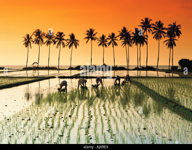 Travel, Indonesia, Bali, Agriculture, Rice paddy field workers at sunset, Kali Buk Buk, View with palms, - Stock-Bilder