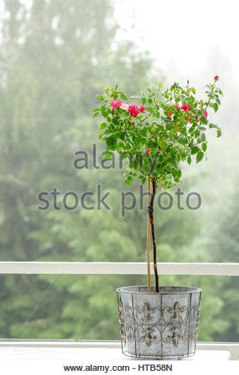 Romantic and dreamy midsummer in Sweden,.eavy mist as background for a lovely pink rosebush in a pot made of wrought - Stock Image