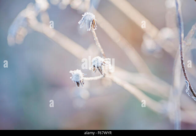 Dreamy poetic hoarfrost on the plants - Stock Image