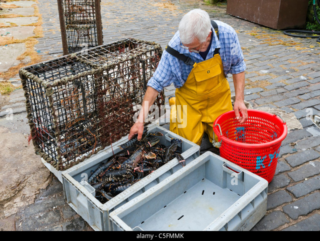 Fisherman removing fresh lobster from pots on the quayside in the fishing village of Crail, East Neuk, Fife, Scotland, - Stock Image