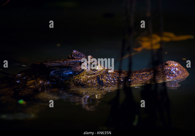 Spectacled Caiman Crocodile (Caiman crocodilus) - Stock Image