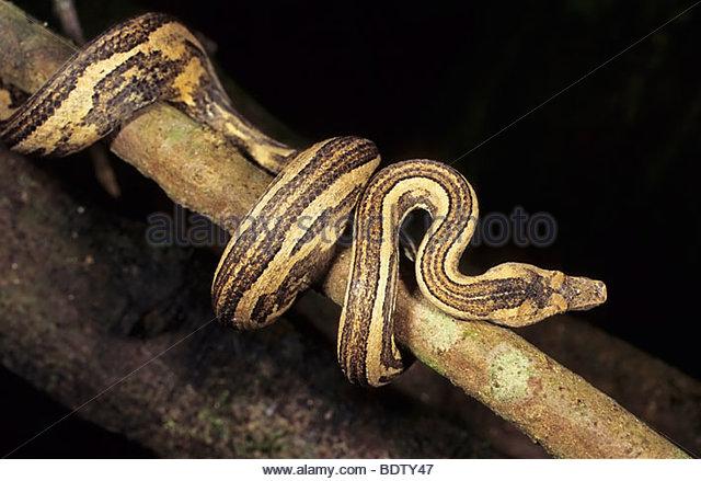 Python, snake, Enygrus spec., Regenwald, Arfak-Berge, Arfak-Mountains, Irian Jaya, west neuguinea, west new guinea - Stock Image