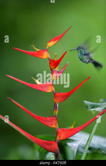 White-vented Plumeleteer feeding on red Heliconia flower in Metropolitan park near Panama city, Republic of Panama. - Stock-Bilder