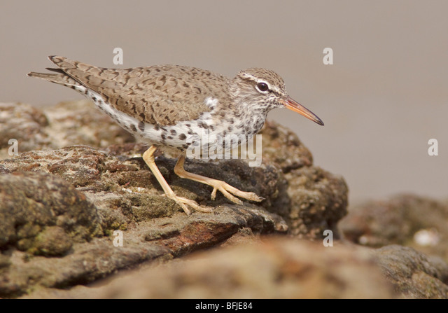 Spotted Sandpiper (Actitis macularia) perched on a rock near the coast of Ecuador. - Stock Image