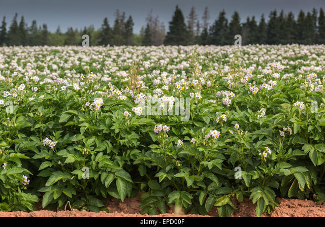 Blooming Potato Plant Stock Photos & Blooming Potato Plant ...