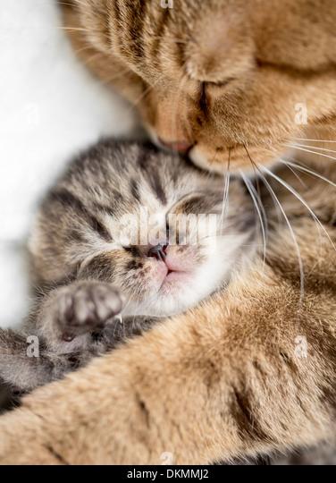 mother cat hugging little kitten - Stock Image